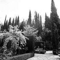 Alto, delgado arbusto para el paisaje del frente