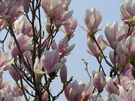 Los árboles de hoja caduca Magnolia