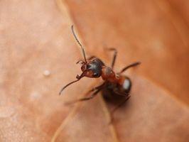 ¿Cómo puedo matar a las hormigas de fuego con los productos para el hogar?