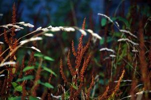 Cómo identificar las malas hierbas del Sur en parcelas de comida