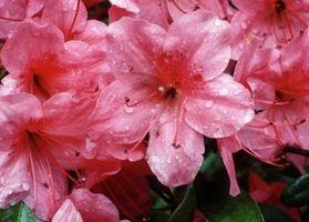 Cómo cuidar a rododendro