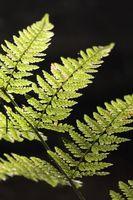 Lista de vasculares no de semillas Plantas y sus descripciones