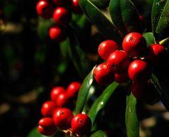 El Mejor de Holly arbustos para Carolina del Sur