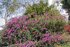 Cómo plantar Bougainvillea