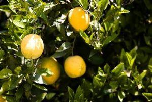 Cómo proteger de la congelación de las naranjas