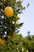Manchas en las hojas del árbol de naranja