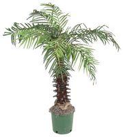 Cómo cuidar de las palmeras con Errores de blancos