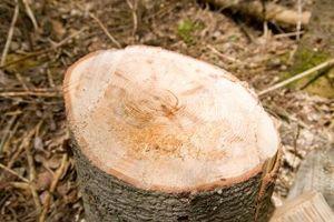 Cómo controlar los tocones de árboles