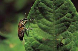 Imidacloprid como Jardín Insecticida