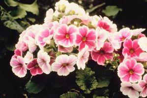 Vistosas plantas Pink Primrose