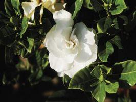 Los tratamientos para la mosca blanca en Gardenias