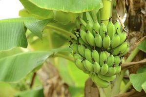 Usos de la planta de banano