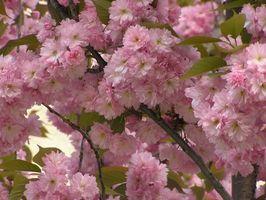 Infestaciones de moscas de la floración de los cerezos