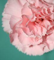 Describir la flor del clavel