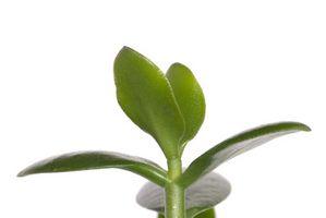 El sistema radicular de las plantas de jade