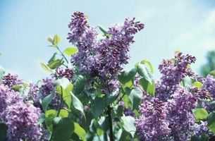 Cómo ahorrar un árbol lila