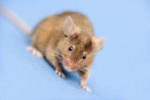 Cómo limpiar un ratón fuera de un conducto de calefacción