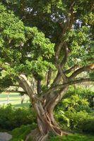 Cómo cuidar los árboles sin fruto figura