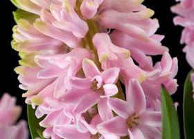 Proceso para la liofilización Flores