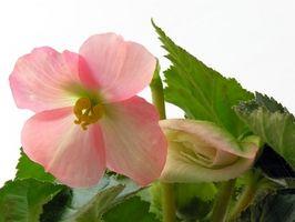 Forma de guardar para el invierno Begonias tuberosas