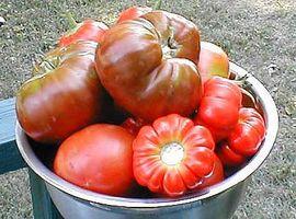¿Cómo detener las ardillas de comer sus tomates