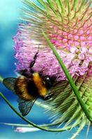 Cómo quitar una abeja amarilla cerca de la Casa