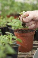 ¿Cómo hacer crecer plantas con flores Interior Con Lechuga