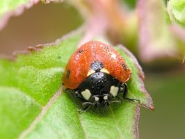 Pupas de escarabajos de mariquita en plantas de tomate