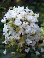 Significado Myrtle Flor