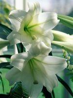 ¿Cuándo se planta un lirio de Pascua después de haber dejado Blooming?