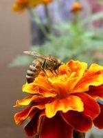 ¿Cuándo es seguro para semillas de plantas de caléndula en el jardín?