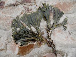 La estructura de las algas