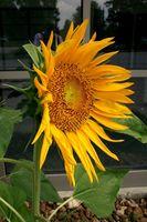 Tipos de flores que las abejas Prefiero