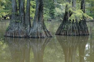 Datos interesantes sobre los árboles de Cypress