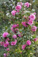 Cómo cuidar los arbustos de Rose en un clima caliente