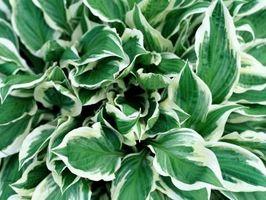 El cultivo de liliáceas