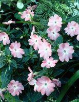 Las plantas perennes son Vincas o plantas anuales?