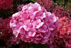 Contenedor de jardinería de hortensias