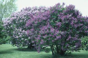 Cómo podar y Atención a un arbusto de lila
