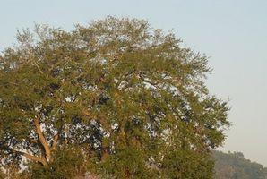Fuentes de Live Oak árboles