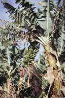 El sistema radicular de un árbol de plátano